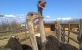 Un fermier din Buzau a investit 50.000 de euro într-o fermă cu struţi
