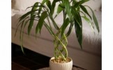 Cum se ingrijeste un Bambus Norocos?