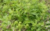 Condimente la ghiveci: maghiranul